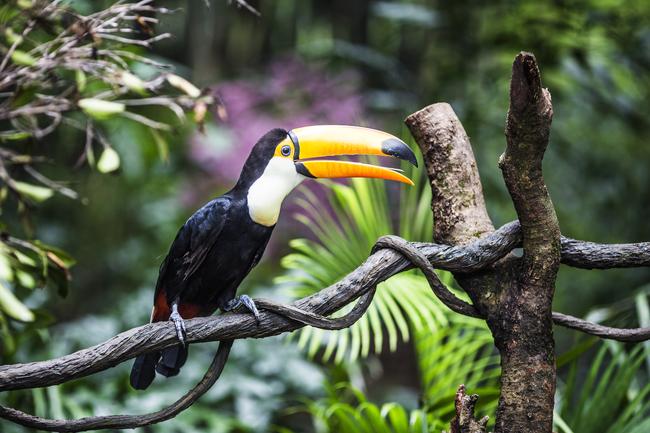 Toucan Tourisme de la vie sauvage
